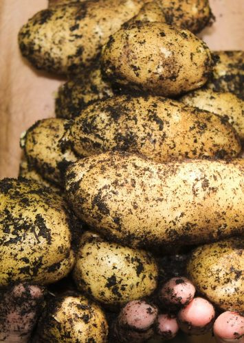 Loss of Crop Diversity and Food Crisis, Could Potatoes Save the Day?
